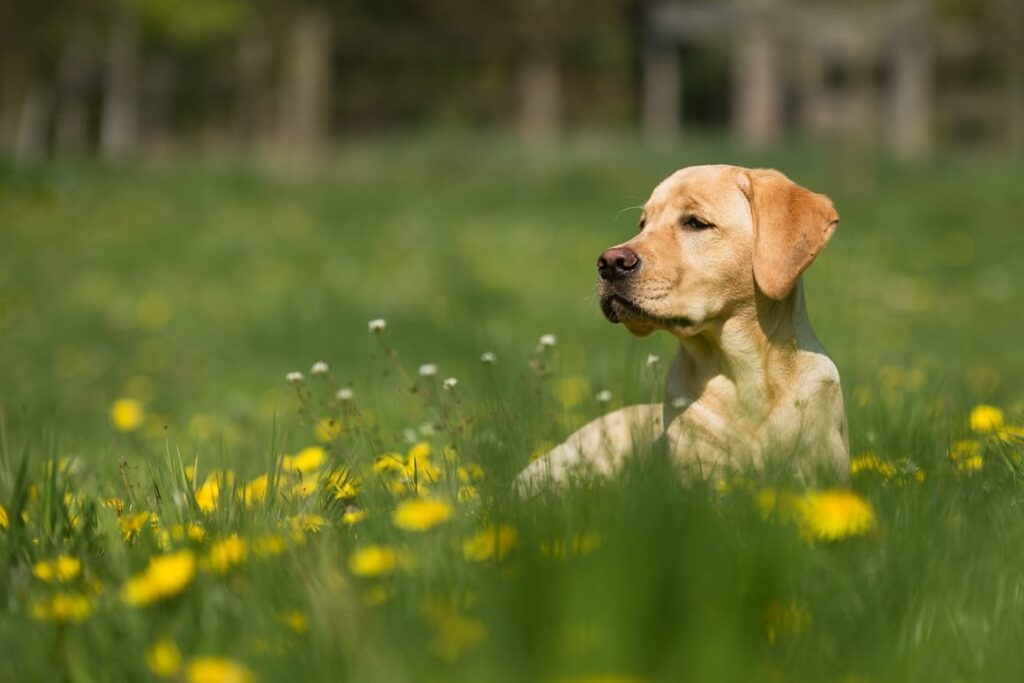 labrador dog training in a field of flowers