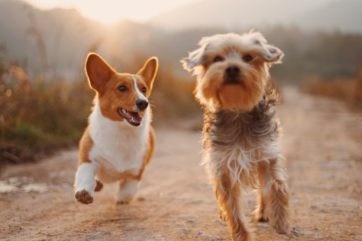 Two dogs running side by side exercising. Diabetes in dogs post.