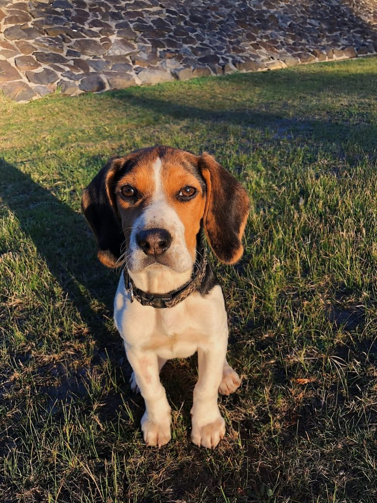 The Beagle is one of the best breeds of dog for kids