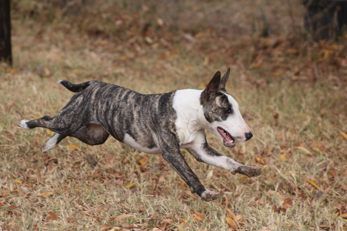 The Bull Terrier. Why it is a great breed for kids