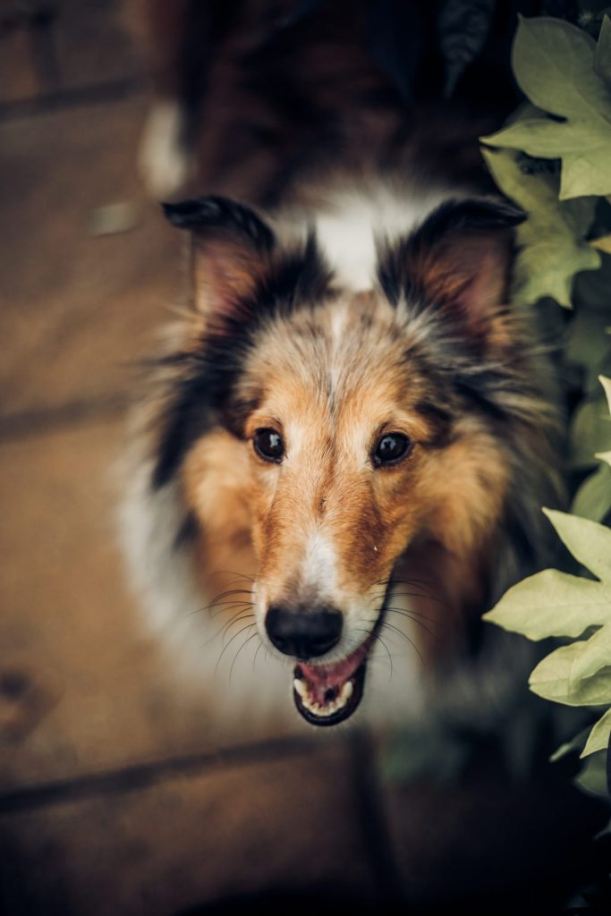 The Collie. Why it is the best dog breed for kids