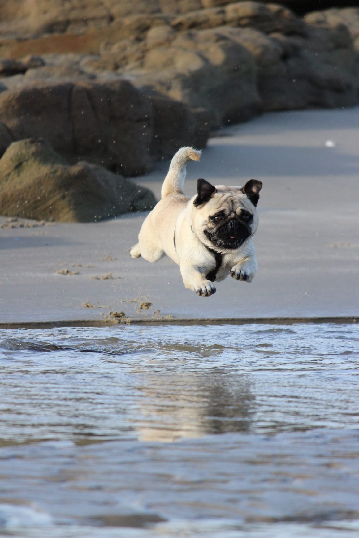 A young pup jumping on the beach after being let out of her puppy crate