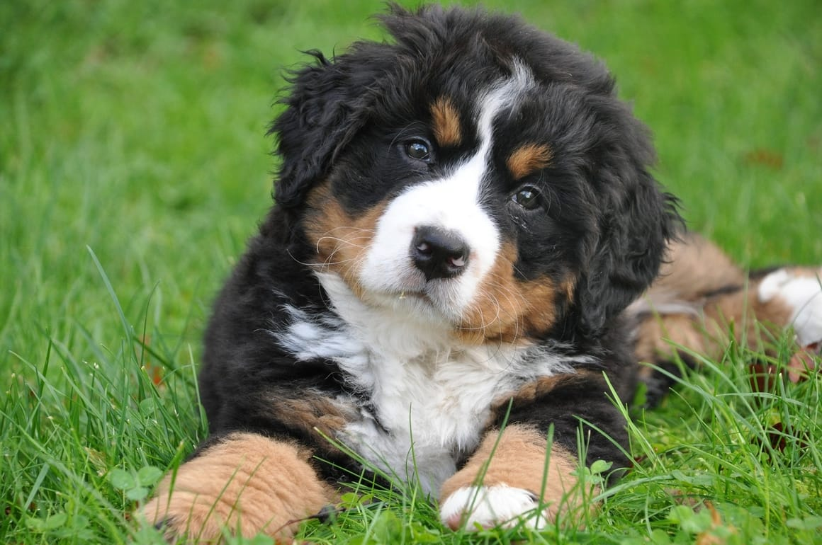 Bernese Mountain Dog Puppy laying down