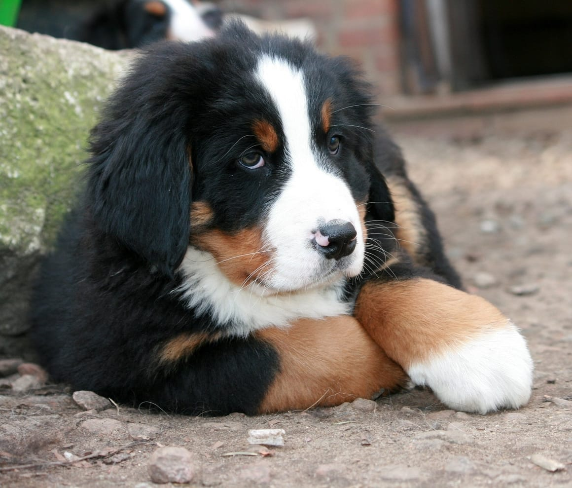 Bernese Mountain Dog puppy laying in the yard