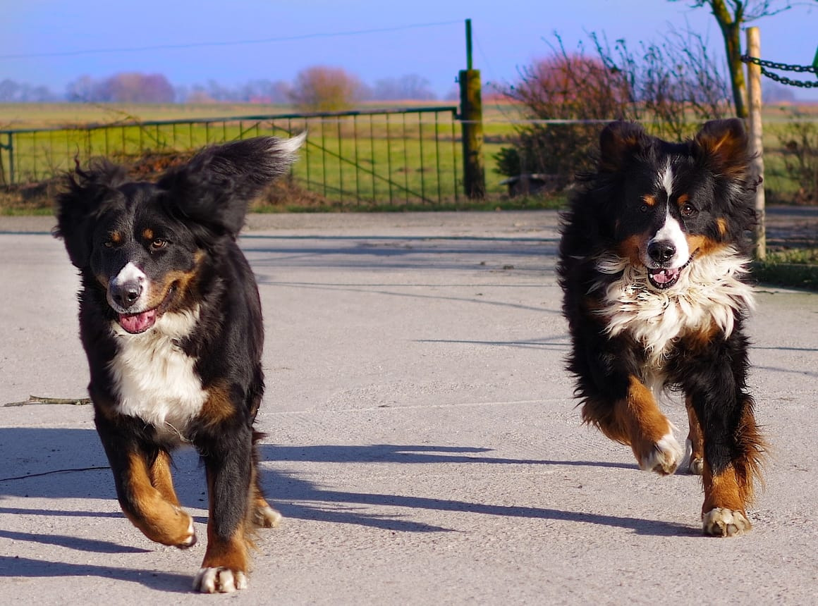 Two Bernese Mountain Dogs running