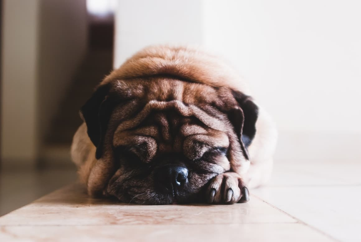 sleeping dog with a wrinkly squashed face