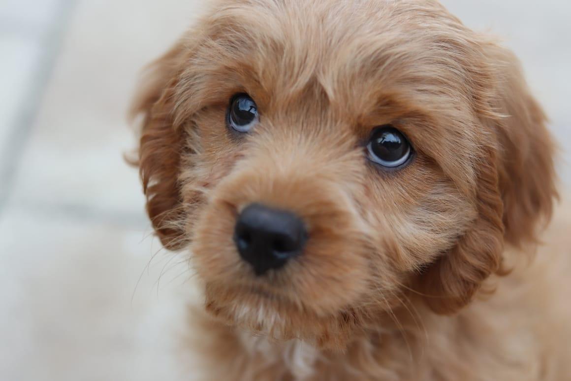 little puppy dog
