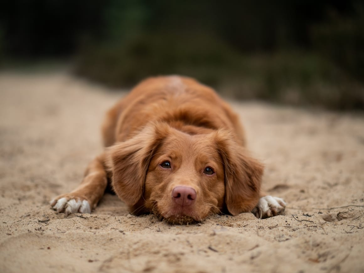 sad looking brown dog. Training tips for puppy