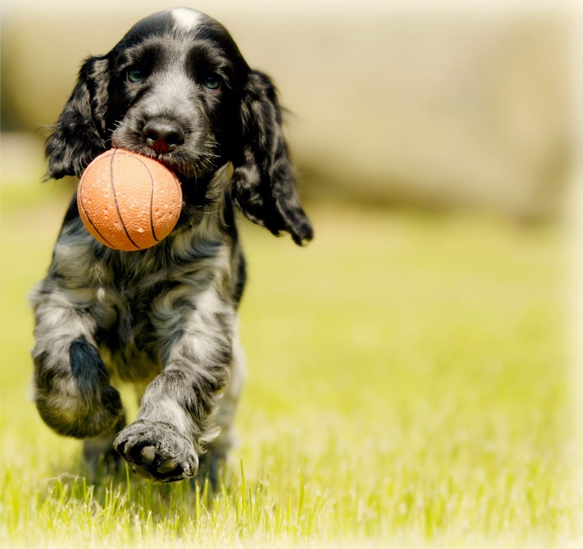 Puppy carrying a ball. Dog training