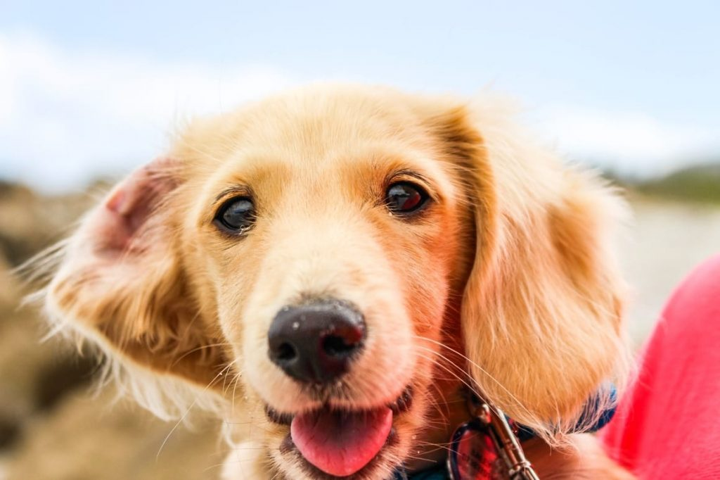Yellow dog smiling at the camera. Dog training mistakes