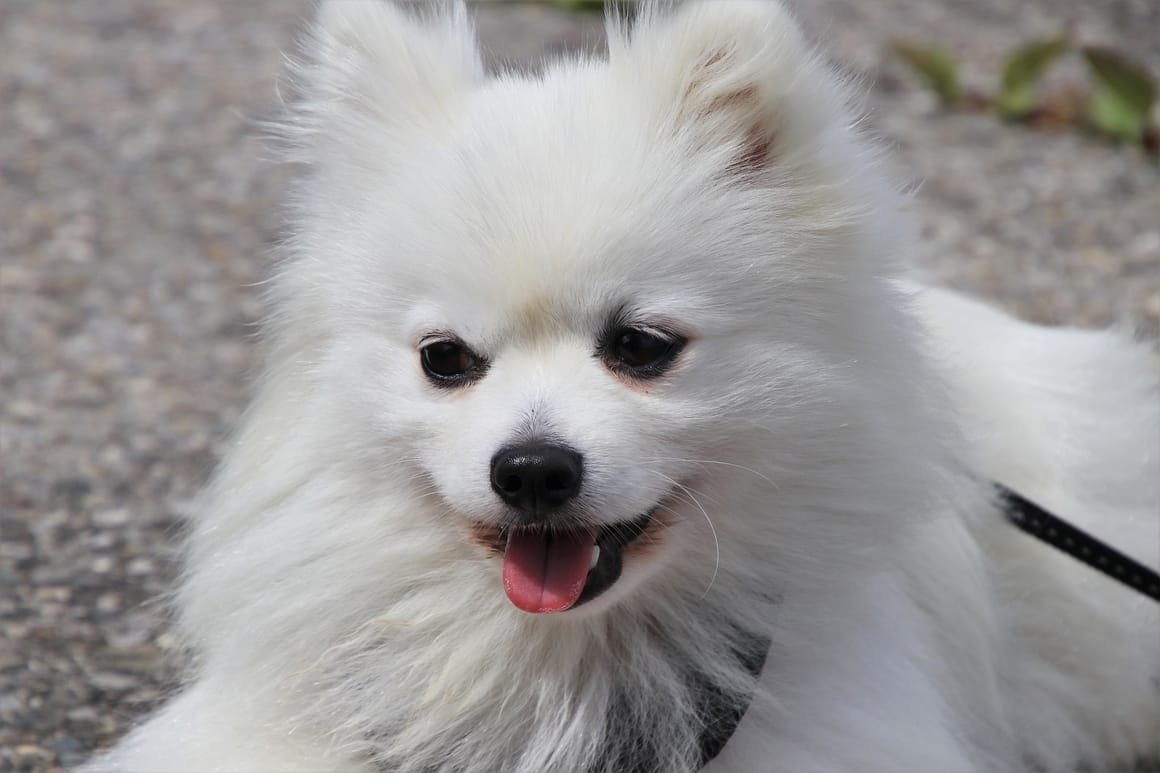 White Spitz Dog