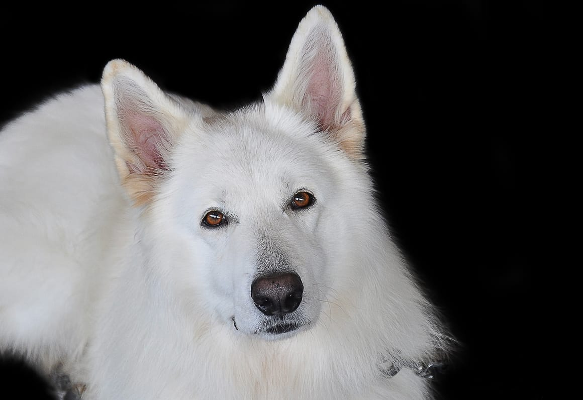 White Schafer Shepherd Dog