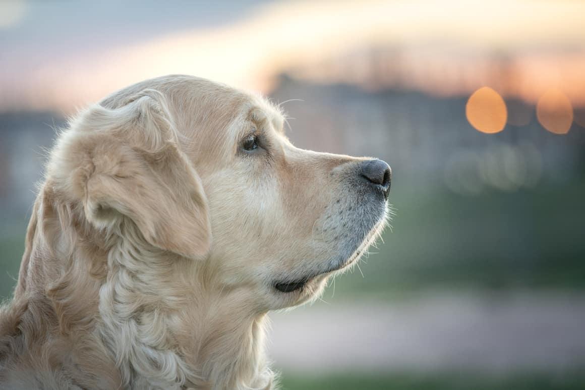 White Retriever Dog