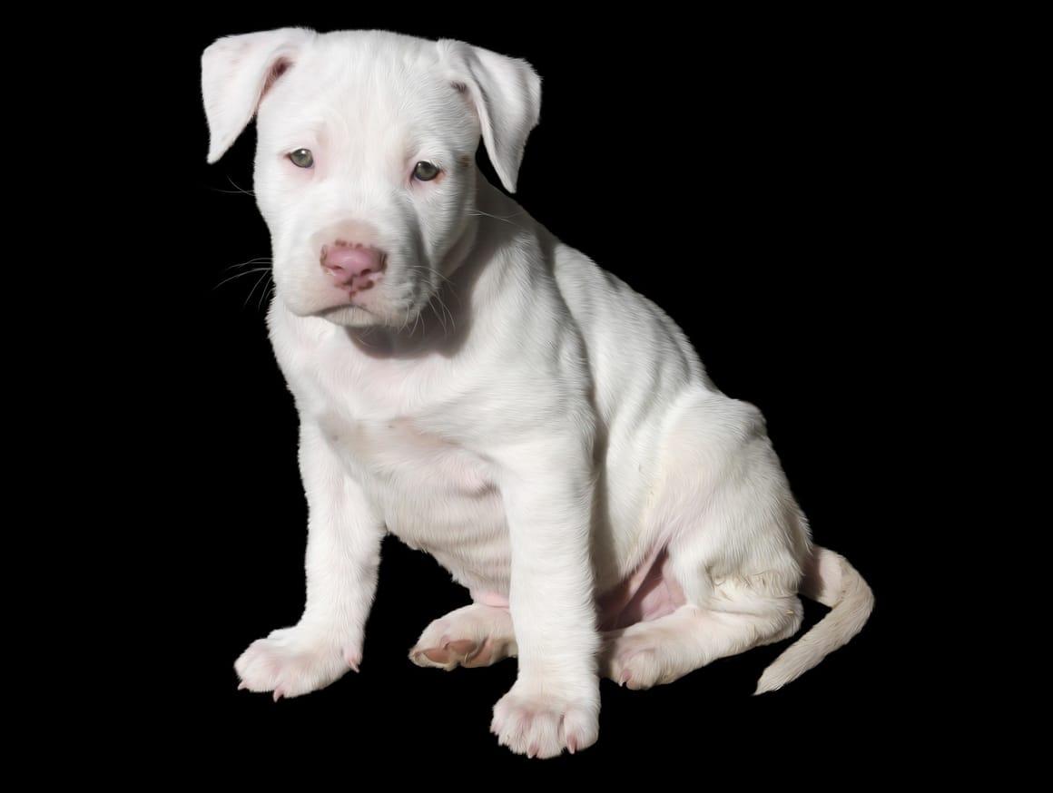 White American Pitbull Terrier Dog