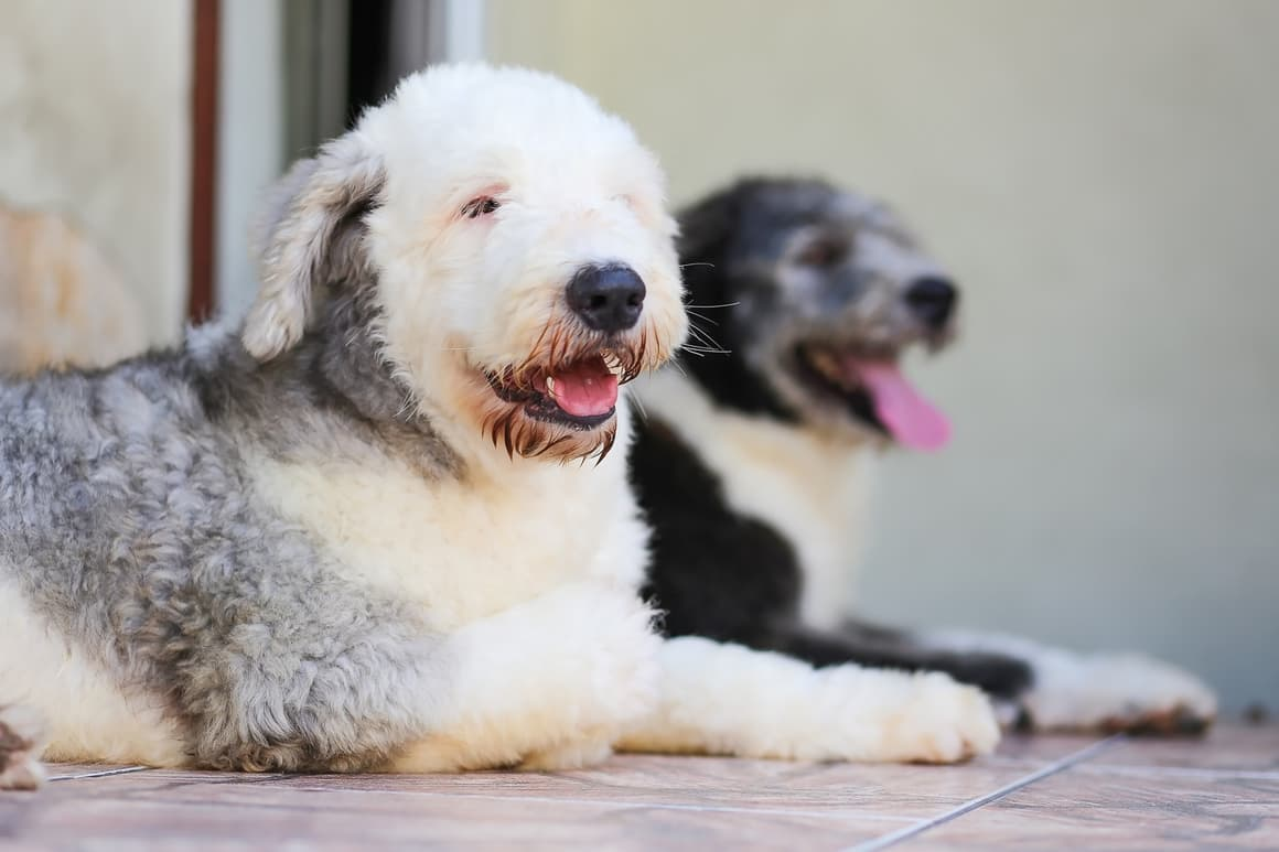 White and Grey English Sheepdog