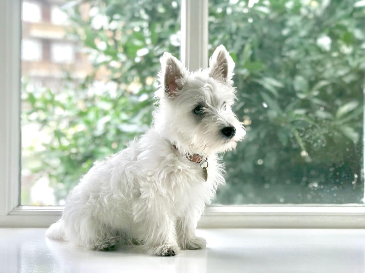 White Highland Terrier Dog