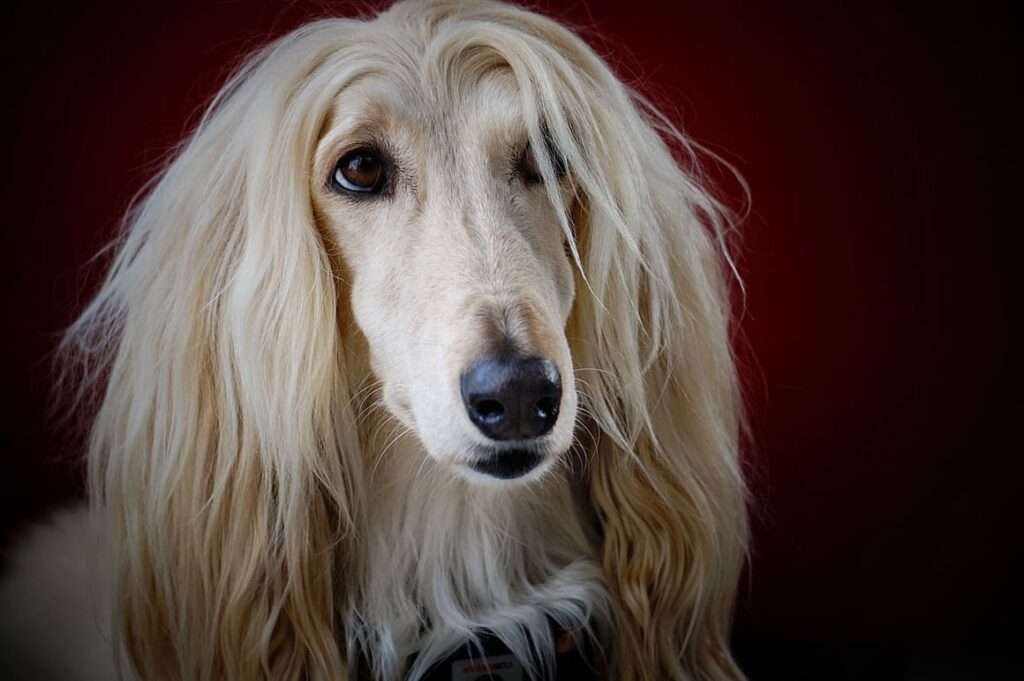 Afghan Hound. A dog breed that doesn't shed a s much as others