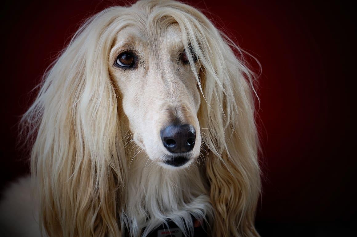 Afghan Hound White Dog