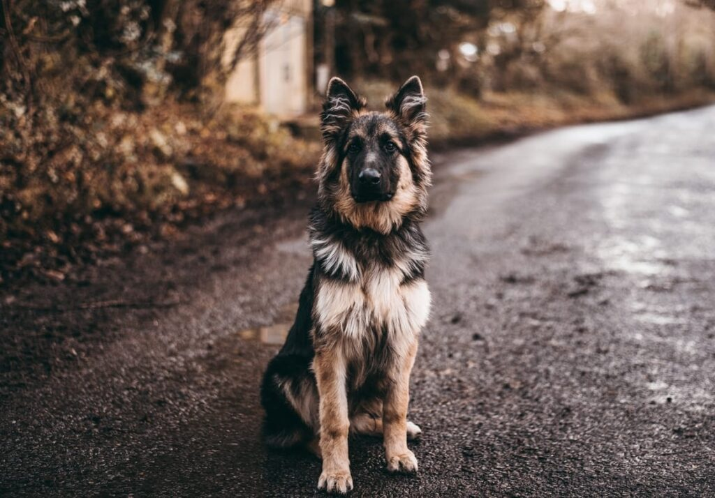 German Shepherd. Dogs that shed