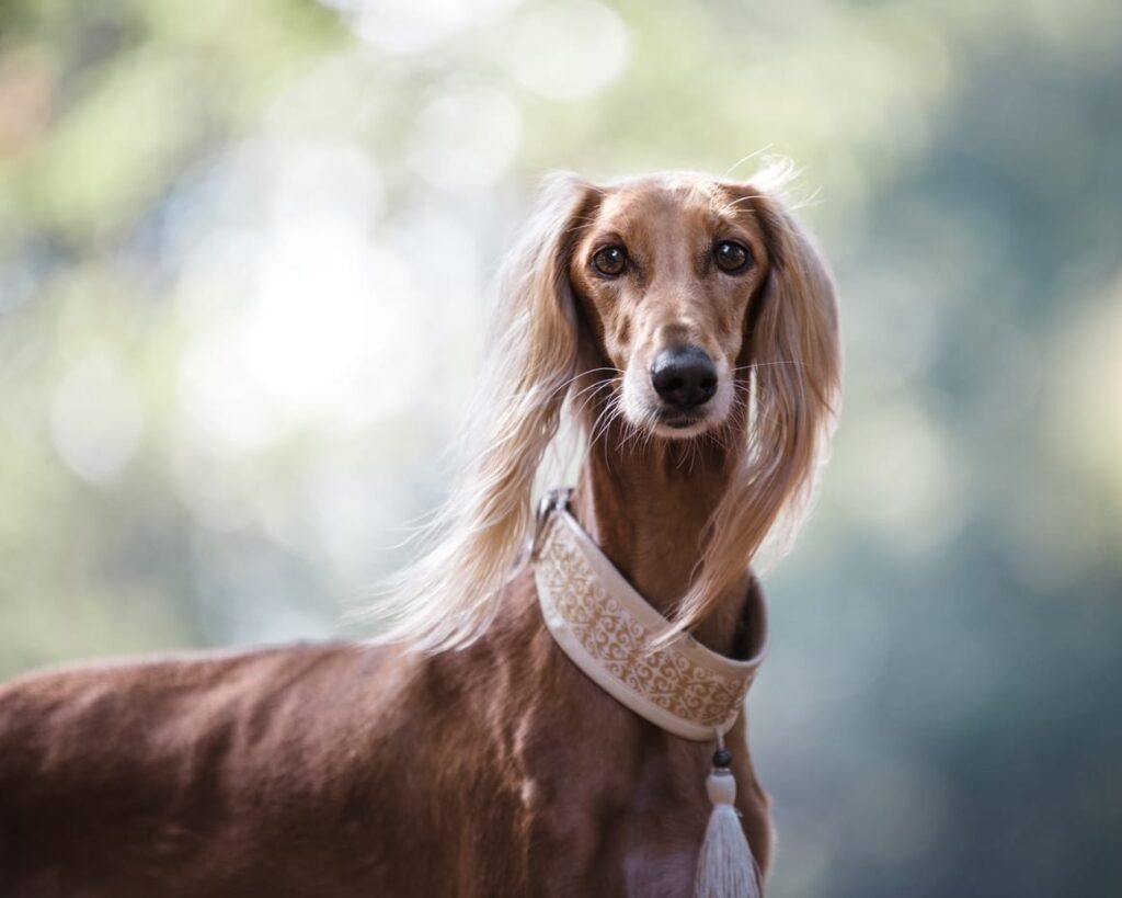 saluki dog that does not shed much