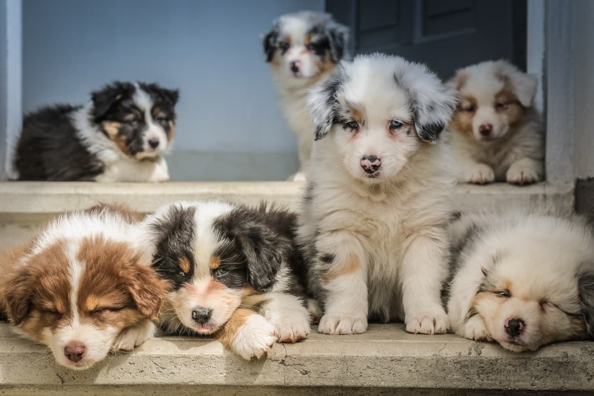 lots of cute grey and white puppies