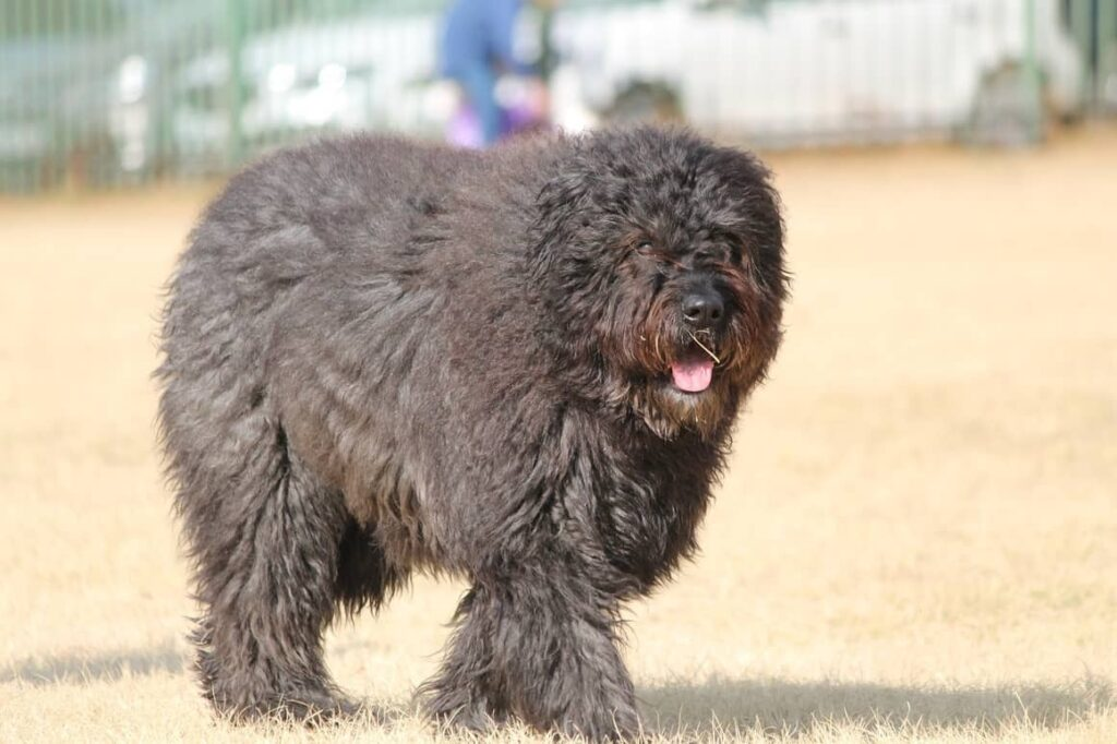 Bouvier Dog. A long coat that doesn't shed as much as others