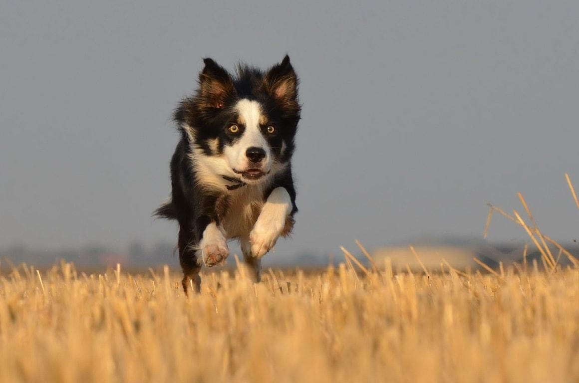 dog running fast