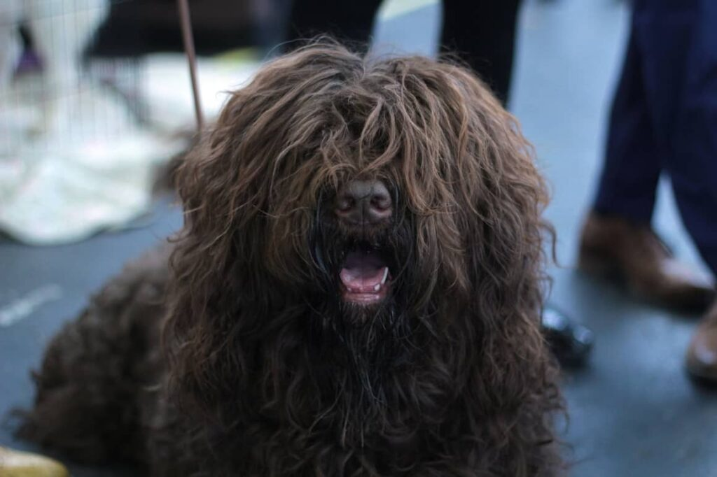 Barbet Dog Breed That Doesn't shed