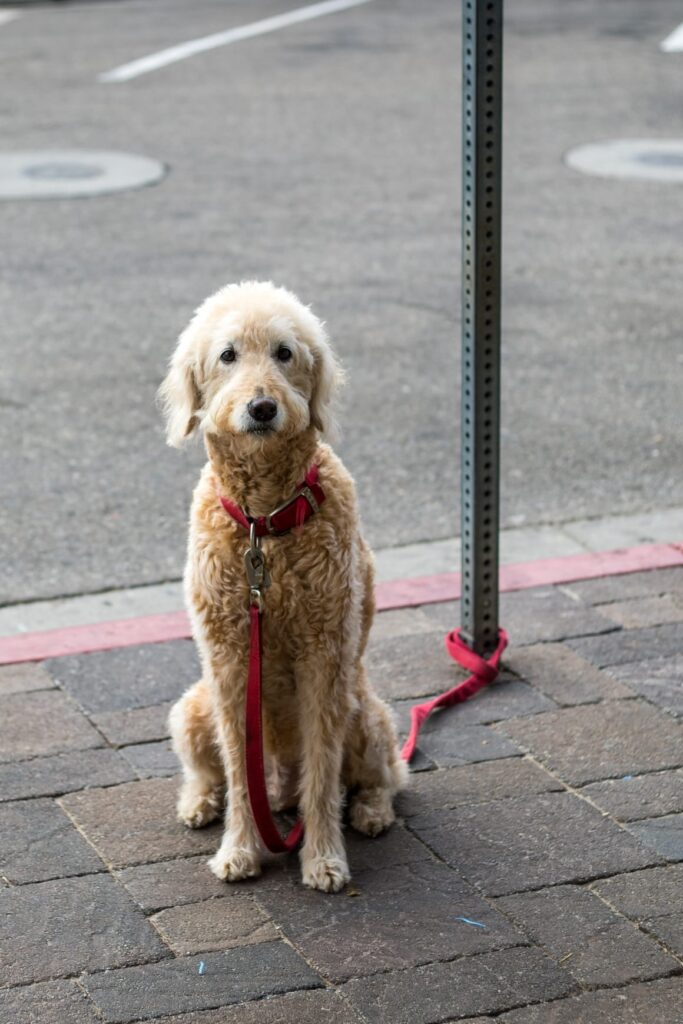 Standard poodle. A big dog breed that does not shed