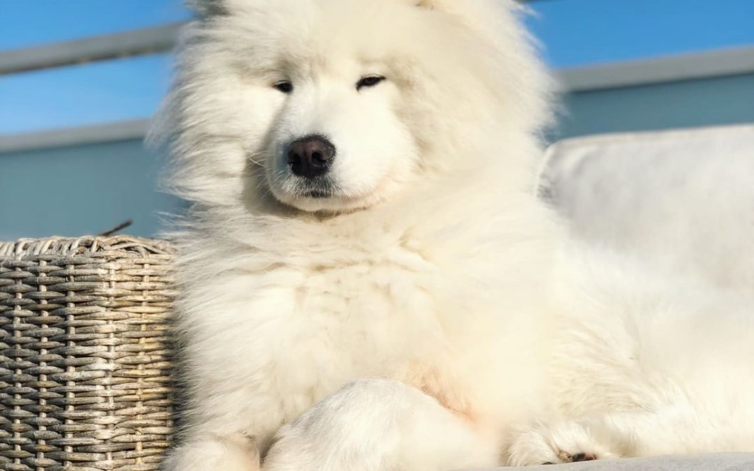 25 White Dog Breeds (From Fluffy to Snuffy, Small to Big)