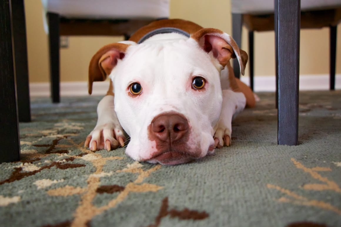 scared looking brown and white dog