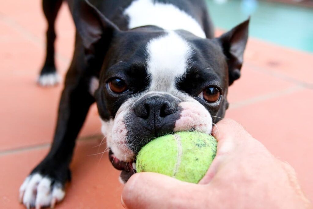 Dog biting a ball in a mans hand. Mental stimulation for dogs