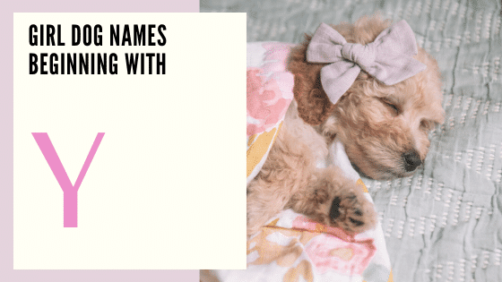 Female Dog Names Beginning With Y