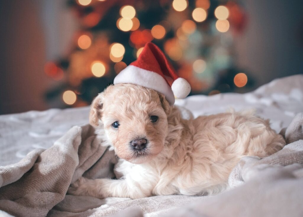 A puppy in front of a Christmas tree with a santa hat on