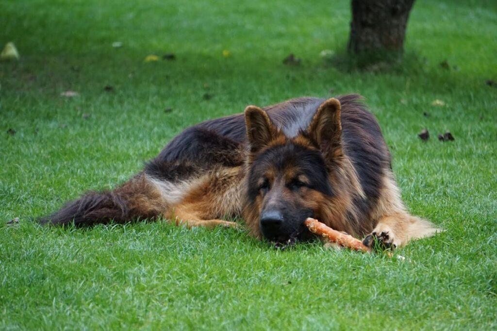 German Shepherd dog chewing on a stick